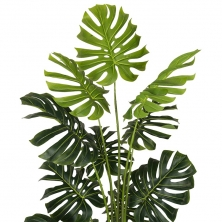 Sub foto Planta Monstera Philo 180