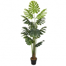 Foto principal Planta Monstera Philo 180